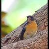 "MANGROVE BLUE FLYCATCHER <i>Cyornis rufigastra</i> Coron, Palawan, Philippines  more pictures in the <a href=""http://tonjiandsylviasbirdlist.smugmug.com/The-Bird-List/Flycatchers-and-Fantails/Mangrove-Blue-Flycatcher/8095503_YGoHw/1/628655594_PJkXx"">Mangrove Blue Flycatcher gallery</a>"