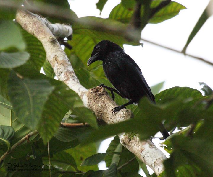 "HAIR-CRESTED DRONGO aka SPANGLED DRONGO <i>Dicrurus hottentottus</i> Coron, Palawan, Philippines  more pictures in the <a href=""http://tonjiandsylviasbirdlist.smugmug.com/The-Bird-List/Drongos/Hair-Crested-Drongo-aka/8610481_5hzrh/1/567930859_FLXwT"">Hair-Crested Drongo gallery</a>"
