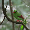 """Short-tailed Green Magpie <i>Cissa thalassina</i>, 30-35cm  I was only able to bird for two days. But on the second day I was already seeing several of the birds I saw the previous day. So I invited my son to go with me to try one of the trails to look for the Whitehead's Trogon. It seemed like it was one of """"the"""" target birds for the area.   We did not see the Trogon but we did see a White-crowned Forktail and this very colorful bright green bird, a Short-tailed Green Magpie. It is slightly bigger than a Black-naped Oriole and its a loud bird. My son had his binoculars and he spotted the bird for me while I adjusted my settings to the dark and variable conditions near the Liwagu River. We saw a pair but they were difficult to shoot because they were hiding in the dark parts of the forest growth. We worked well as a team and were rewarded one decent perch to get the bird."""