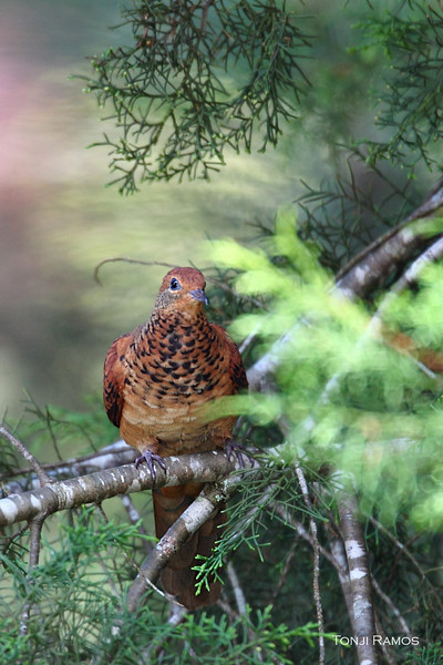 Little Cuckoo-dove <i>Marcopygia ruficeps</i>,  Size 27cm