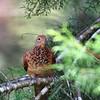 Little Cuckoo-dove <i>Marcopygia ruficeps</i>,  Size 27cm