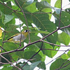 BLACK-CAPPED WHITE-EYE <i>Zosterops atricapilla</i>  10-11cm