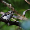 <B>Little Pied Flycatcher</B>, immature <i>Ficedula westernmanni</i> size 10cm  This is a bird I have seen in the Philippines. I saw it well in Sagada. But never as close as I have seen it in Mt. Kinabalu.  I was looking at some movement in the trees when suddenly an adult Little Pied Flycatcher landed 6 inches form my left foot. My camera can't focus that close, I needed a point and shoot.   The bird got an insect then flew to a branch to feed this immature bird. I would not have been able to ID this bird otherwise because it looks so different from the Black and White colors of its dad.