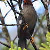 Chestnut-capped Laughingthrush <i>Garrulax mitratus</i> size 22cm  A very noisy and certainly not a shy bird. I repeatedly saw this species around the park in pairs of flocks of 3 to 5. Its the first bird I saw in the park. I also saw them in a mixed flock with the Sunda Laughingthrush.