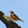 Orange-headed Thrush <i>Zoothera citrina</i>