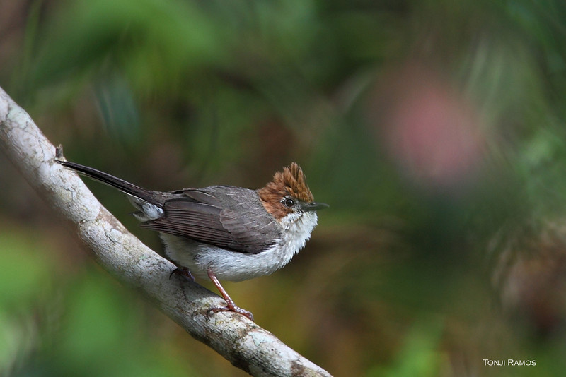 Chestnut-crested Yuhina <i>Yuhina everetti</i>  This has got to be the ETS of Mt. Kinabalu. I would see this bird in pairs or in flocks of 6 or more. They are very active and sometimes they are not shy at all. I heard them all over, tweeting and calling while eating.   It is a Borneo endemic. Its a small bird that is very easy to ID because of the chestnut color of the head and the Elvis hairstyle.   The scientific name of this bird is Yuhina everetti, named after Alfred Hart Everett (1848-1898). He collected lots of species of animals in Asia including the Philippines. Among the birds named after him we have one in the Philippines, the Everett's White-eye.