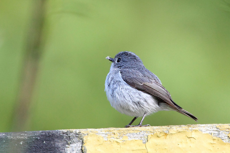 <B>Little Pied Flycatcher</B>, female <i>Ficedula westernmanni</i> size 10cm
