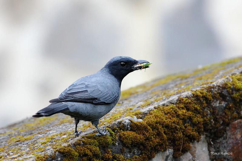 Black-faced Cuckoo-shrike <i>Coracina Larvata</i>