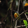 APO SUNBIRD, male <i>Aethropyga boltoni</i> Mt. Kitanglad, Bukidnon
