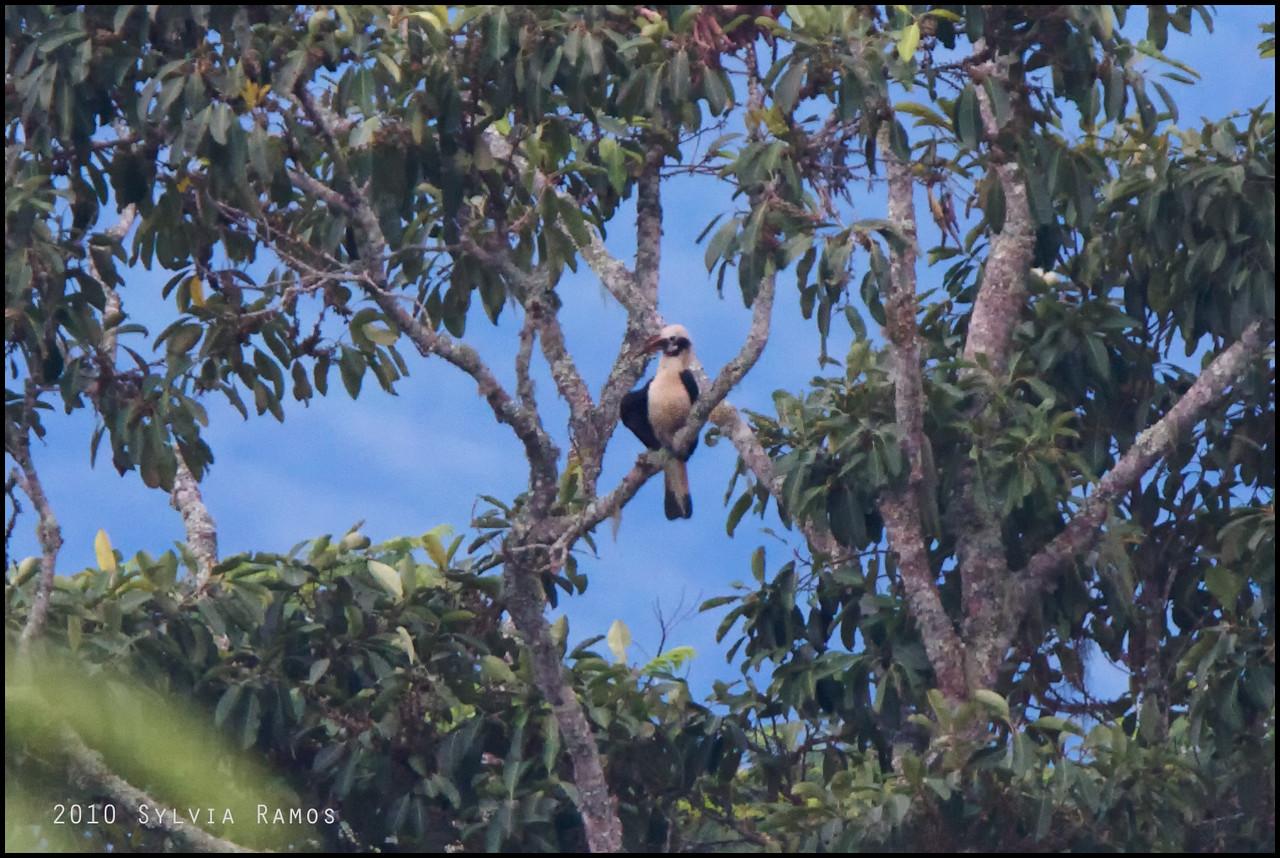 MINDANAO TARICTIC aka Mindanao Hornbill <i>Penelopides affinis</i> Mt. Kitanglad, Bukidnon, Philippines