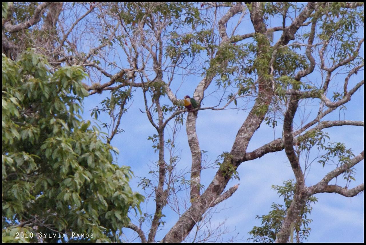 YELLOW BREASTED FRUIT DOVE <i>Ptilinopus occipitalis</i> Mt. Kitanglad, Bukidnon, Philippines