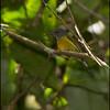 APO SUNBIRD, female <i>Aethropyga boltoni</i> Mt. Kitanglad, Bukidnon
