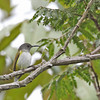 GREY HOODED SUNBIRD <i>Aethopyga flagans</i> Mt. Kitanglad, Bukidnon