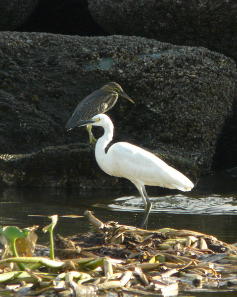 """LITTLE EGRET and juvenile HERON in background <i>Egretta garzetta</i>  migrant  Manila Yacht Club, Philippines  More pictures of the Little Egret in the <a href=""""http://tonjiandsylviasbirdlist.smugmug.com/gallery/7286691_wSkxY/1/482715982_i4ZqJ"""">Little Egret gallery</a> More pictures of the Little Heron in the <a href=""""http://tonjiandsylviasbirdlist.smugmug.com/gallery/7311786_VzFqN/1/470260804_WFJ5e"""">Little Heron gallery</a>"""