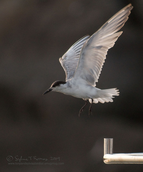 """WHISKERED TERN <i>Chilidonias hybridus</i> Manila Yacht Club, Philippines  More pictures of this bird in the <a href=""""http://tonjiandsylviasbirdlist.smugmug.com/gallery/7286474_9QDyc/1/482725697_a6CCM""""> Whiskered Tern gallery</a>"""