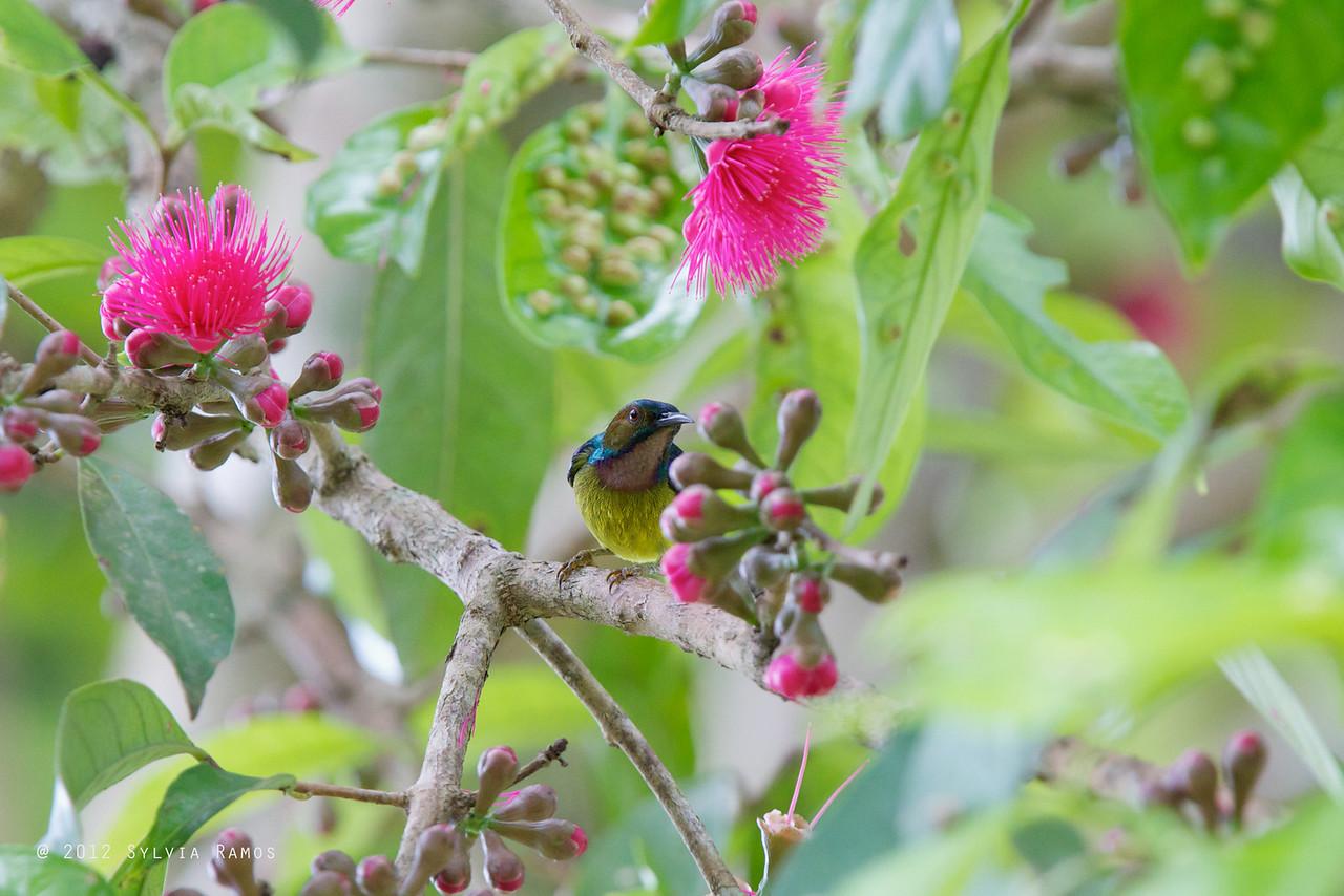 "PLAIN THROATED SUNBIRD, male <i>Anthreptes malacensis</i> Mapawa Nature Reserve, Malasag, Cagayan de Oro  more pictures in <a href=""http://www.tonjiandsylviasbirdlist.com/BirdsPhilippines/sunbfp/Plain-Throated-Sunbird/7953767_XNHCnD"">Plain-throated Sunbird gallery</a>"