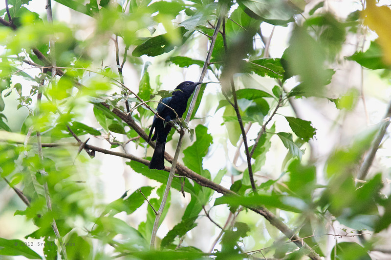 "PHILIPPINE DRONGO-CUCKOO <i>Surniculus velutinus</i> Mapawa Nature Reserve, Malasag, Cagayan de Oro  more pictures in the <a href=""http://www.tonjiandsylviasbirdlist.com/BirdsPhilippines/Coucals-Cuckoos-and-Malkohas/pdc/16279719_k2rjRd"">Philippine Drongo Cuckoo gallery</a>"