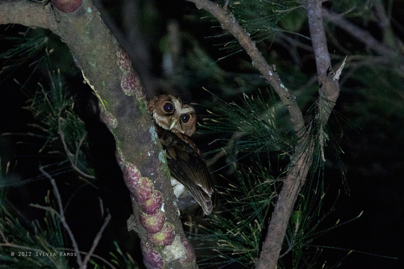 GIANT SCOPS-OWL <i>Mimizuku guryeni</i> aka Mindanao Eagle-Owl Mapawa Nature Reserve, Malasag, Cagayan de Oro