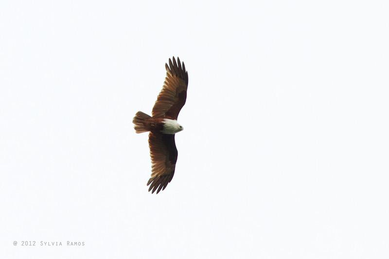 BRAHMINY KITE <i>Haliastur indus</i> Mapawa Nature Reserve, Malasag, Cagayan de Oro  more pictures in