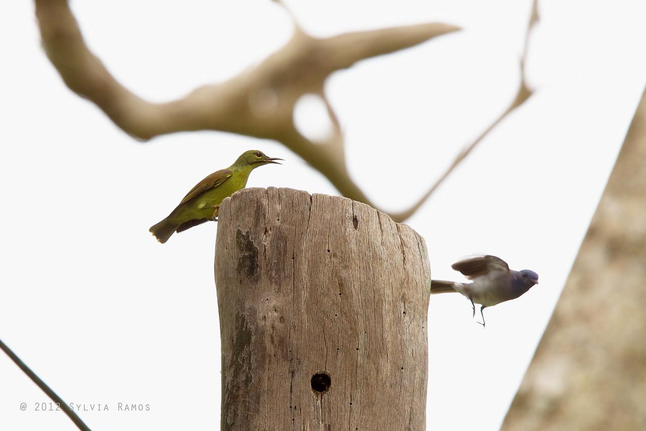 "PLAIN THROATED SUNBIRD, female <i>Anthreptes malacensis</i> Mapawa Nature Reserve, Malasag, Cagayan de Oro  more pictures in <a href=""http://www.tonjiandsylviasbirdlist.com/BirdsPhilippines/sunbfp/Plain-Throated-Sunbird/7953767_XNHCnD"">Plain-throated Sunbird gallery</a>"