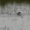 "BLACK WINGED STILT  <i>Himantopus himantopus</i> Masantol, Pampanga, Philippines  More pictures of this bird in the <a href=""http://tonjiandsylviasbirdlist.smugmug.com/gallery/7303056_kUsEw/1/532834717_F9XhL""> Black Winged Stilt gallery</a>"