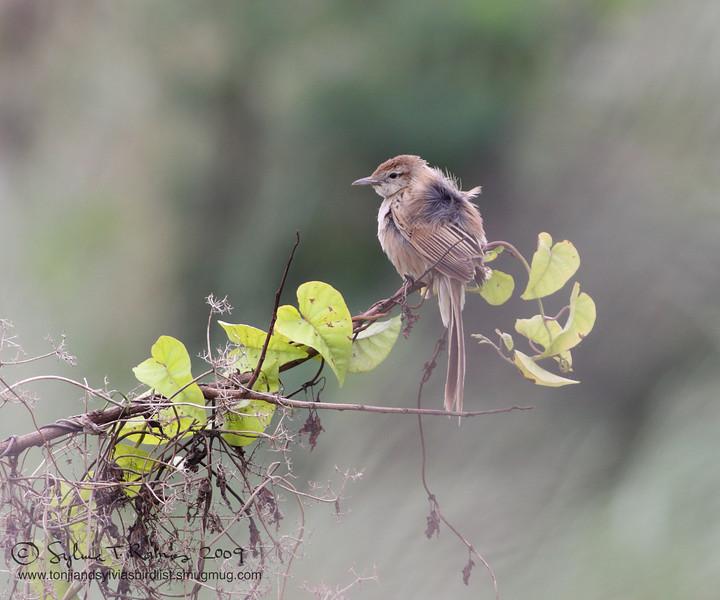 "STRIATED GRASSBIRD  <i>Megalurus palustris</i> Masantol, Pampanga, Philippines  More pictures of this bird in the <a href=""http://tonjiandsylviasbirdlist.smugmug.com/gallery/7303023_NfnJb/1/532815913_bkbm3""> Striated Grassbird gallery</a>"