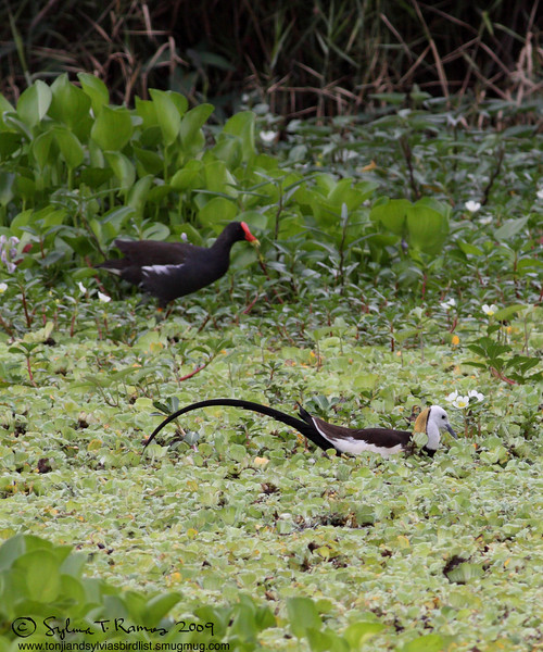 """PHEASANT TAILED JACANA with a COMMON MOORHEN <i>Hydrophasianus chirurgus</i> Macabebe, Pampanga, Philippines  More pictures of this bird in the <a href=""""http://tonjiandsylviasbirdlist.smugmug.com/gallery/7303595_BUpdN/1/530483303_ujkPV""""> Pheasant Tailed Jacana gallery</a>"""