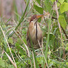 "CINNAMON BITTERN <i>Ixobrychus cinnamomeus</i> Masantol, Pampanga, Philippines  More pictures of this bird in the <a href=""http://tonjiandsylviasbirdlist.smugmug.com/gallery/7303881_jywV6/1/532819820_nPdDH"">Cinnamon Bittern gallery</a>"