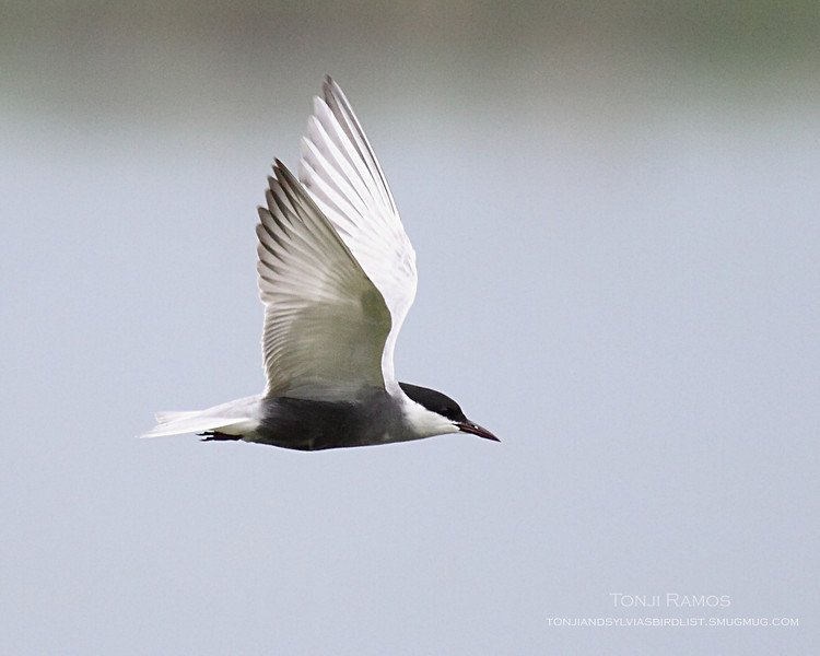"""WHISKERED TERN in breeding plumage <i>Chilidonias hybridus</i> Masantol, Pampanga  More pictures of this bird in the <a href=""""http://tonjiandsylviasbirdlist.smugmug.com/gallery/7286474_9QDyc/1/531674735_sNtmD""""> Whiskered Tern gallery</a>"""