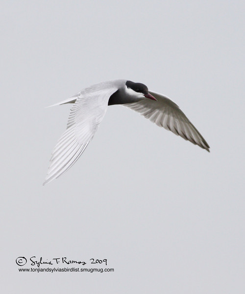 "WHISKERED TERN, breeding plumage   <i>Chilidonias hybridus</i>  Masantol, Pampanga  More pictures of this bird in the <a href=""http://tonjiandsylviasbirdlist.smugmug.com/gallery/7286474_9QDyc/1/531674735_sNtmD""> Whiskered Tern gallery</a>"