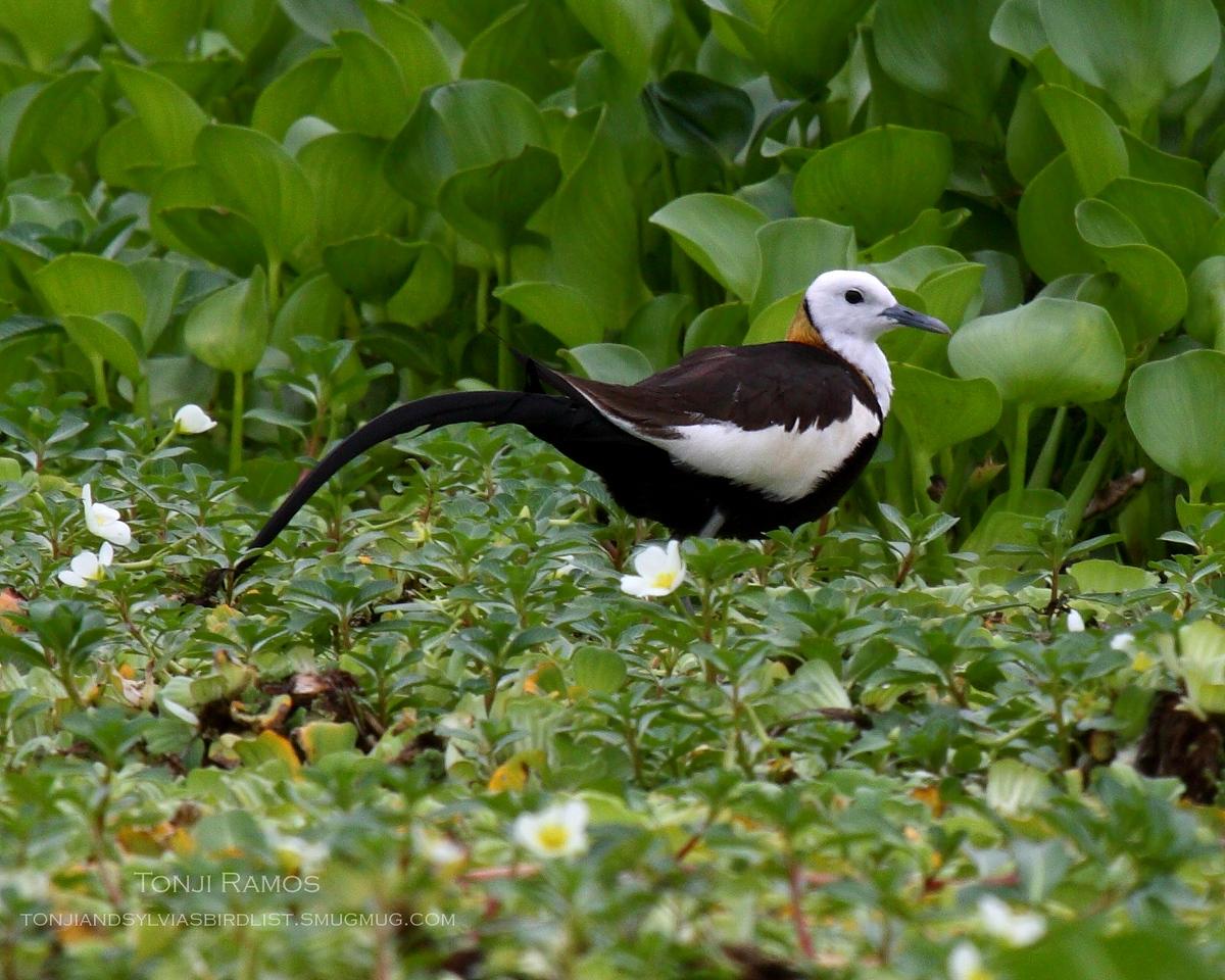 "PHEASANT TAILED JACANA <i>Hydrophasianus chirurgus</i> Macabebe, Pampanga, Philippines  More pictures of this bird in the <a href=""http://tonjiandsylviasbirdlist.smugmug.com/gallery/7303595_BUpdN/1/530483303_ujkPV""> Pheasant Tailed Jacana gallery</a>"