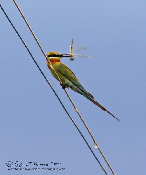 """BLUE TAILED BEE EATER <i>Merops philippinus</i> Masantol, Pampanga, Philippines  More pictures of this bird in the <a href=""""http://tonjiandsylviasbirdlist.smugmug.com/gallery/7372179_Rw6oF/1/532845102_wT8qH""""> Blue Tailed Bee Eater gallery</a>"""