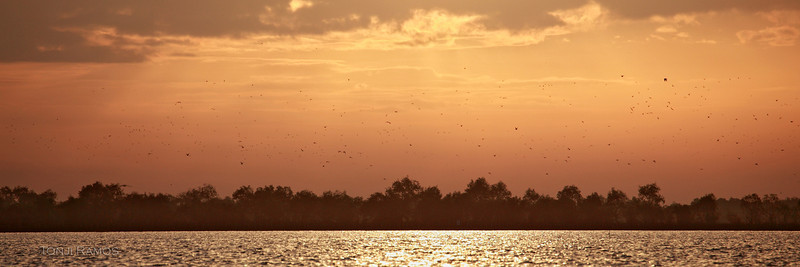 Start of bird movement against dawn sky, hundreds and hundreds of birds. We suspect these are gulls and terns.