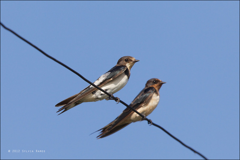 "BARN SWALLOW, immature and adult <i>Hirundo rustica</i> Manila Bay, Pampanga  more pictures in the <a href=""http://tonjiandsylviasbirdlist.smugmug.com/List/Swallows/Barn-Swallow/7363437_NWTrNW"">Barn Swallow gallery</a>"