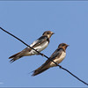 "BARN SWALLOW, immature and adult <i>Hirundo rustica</i> Manila Bay, Pampanga  more pictures in the <a href=""http://tonjiandsylviasbirdlist.smugmug.com/List/Swallows/Barn-Swallow/7363437_NWTrNW"">Barn Swallow gallery</a>"