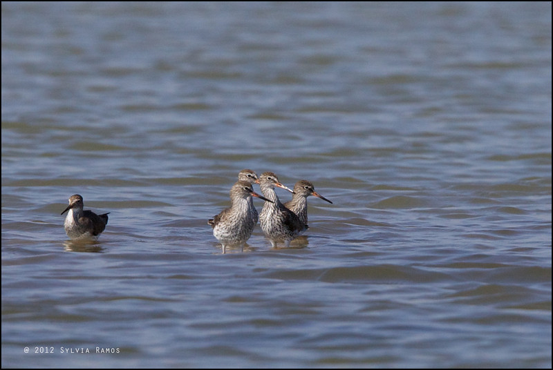 "COMMON REDSHANK <i>Tringa totanus</i> Manila Bay, Pampanga, Philippines  more pictures in the <a href=""http://tonjiandsylviasbirdlist.smugmug.com/List/shore/Common-Redshank/7383387_7Mc9fq"">Common Redshank gallery"