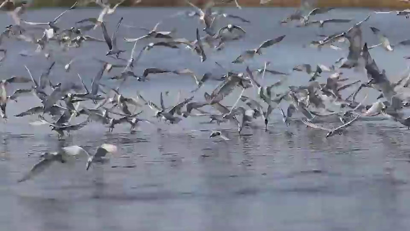 Video of the Whiskered Terns eating fish pellets from a fishpond.