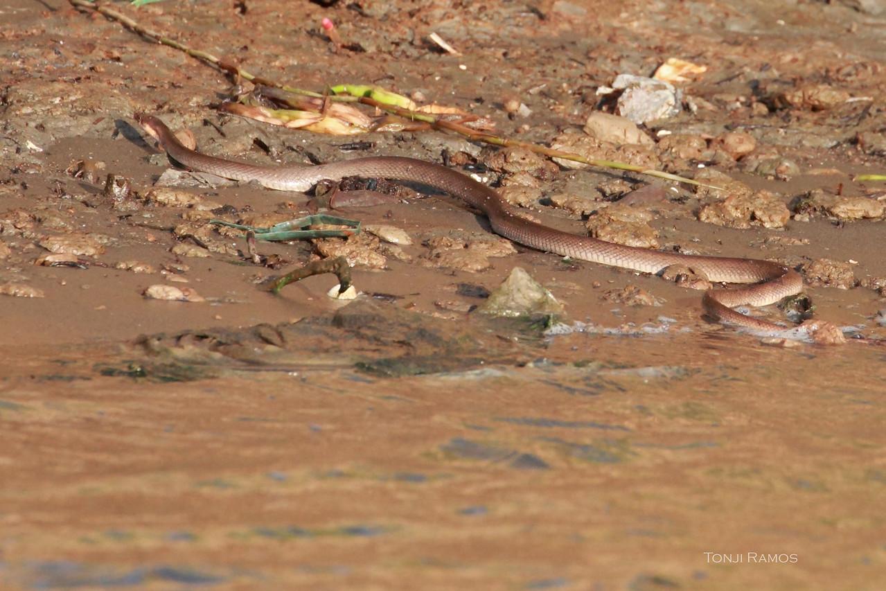 BROWN RAT SNAKE <i>Elaphe erythrura erythrura</i>