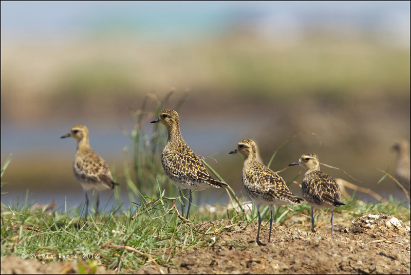 ASIAN GOLDEN PLOVER <i>Pluvialis fulva</i> Manila Bay, Pampanga