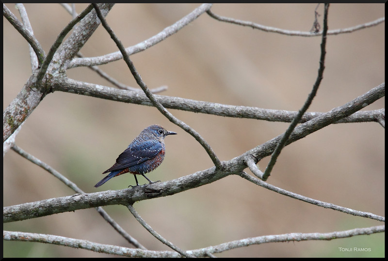 BLUE ROCK THRUSH <i>Monticola solitarius</i> Mt. Polis, Mt. Province, Philippines