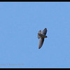 "PHILIPPINE SWIFTLET <i>Collocalia mearnsi</i> Mt. Data, Mountain Province, Philippines  more pictures in the <a href=""http://tonjiandsylviasbirdlist.smugmug.com/The-Bird-List/Swiftlets-Needletails-Swifts/Philippine-Swiftlet/10916719_NpW6S/1/762315428_9NHTE"">Philippine Swiftlet gallery</a>"