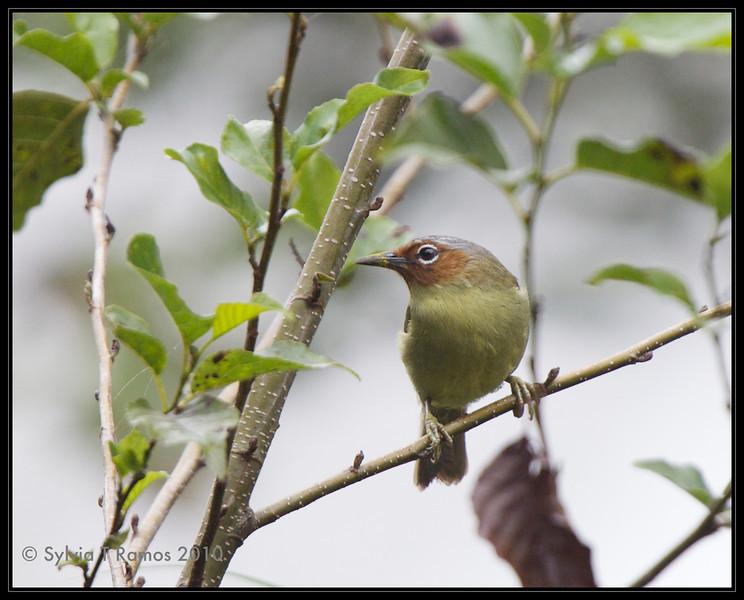 "CHESTNUT-FACED BABBLER <i>Stachyris whiteheadi</i> Sagada, Mountain Province, Philippines  more pictures in the <a href=""http://tonjiandsylviasbirdlist.smugmug.com/The-Bird-List/Tits-Rhabdornis-and-Babblers/Chestnut-Faced-Babbler/10915967_P3MNs/1/762223910_ZB4of"">Chestnut-Faced Babbler gallery</a>"