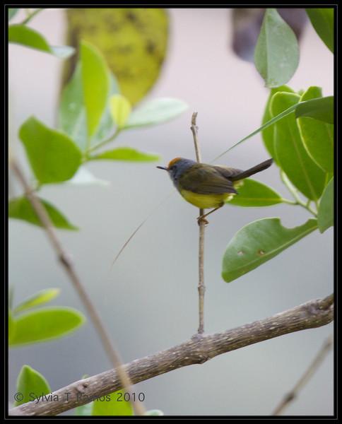 MOUNTAIN TAILORBIRD <i>Orthotomus cuculatus</i> Halsema, Highway, Mountain Province, Philippines