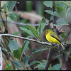 CITRINE CANARY-FLYCATCHER <i>Culicicapa helianthea</i> Mt. Polis, Banaue, Philippines