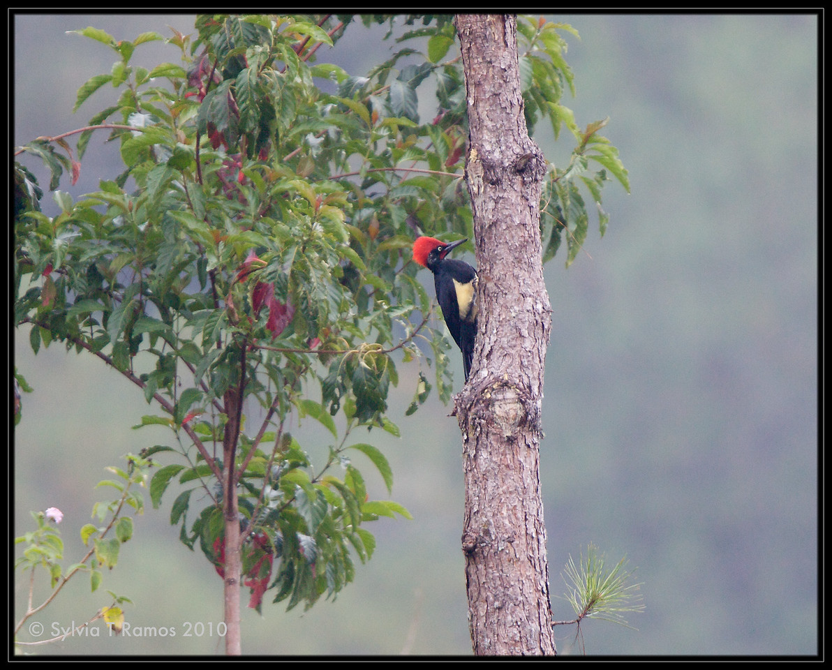 """WHITE BELLIED WOODPECKER, male <i>Dryocopus javensis</i> Sagada, Mountain Province, Philippines  more pictures in the <a href=""""http://tonjiandsylviasbirdlist.smugmug.com/The-Bird-List/Woodpeckers/White-Bellied-Woodpecker/7605235_FK6aQ/1/762302589_gw82d"""">White-Bellied Woodpecker gallery</a>"""