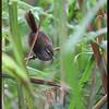 "LUZON BUSH-WARBLER aka Philippine Bush Warbler <i> Cettia seebohmi</i> Sagada, Mountain Province, Phlippines  more pictures in the <a href=""http://tonjiandsylviasbirdlist.smugmug.com/The-Bird-List/Flyeaters-Warblers-Grassbirds/Luzon-Bush-Warbler/10916019_CCtAq/1/762028841_mN8Jn"">Luzon Bush Warbler gallery</a>"