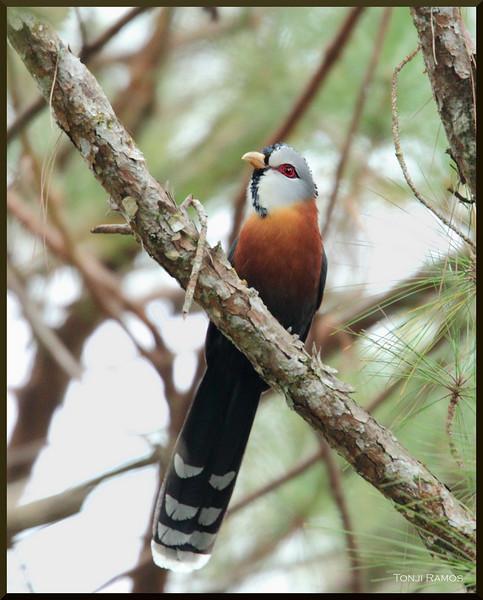 "SCALE FEATHERED MALKOHA <i>Lepidogrammus cumingi</i> Sagada, Mountain Province  more pictures in the <a href=""http://tonjiandsylviasbirdlist.smugmug.com/The-Bird-List/Coucals-Cuckoos-and-Malkohas/Scale-Feathered-Malkoha/7946455_6gUNV/1/764972481_J2RKS"">Scale Feathered Malkoha gallery</a>"