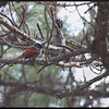 "BLUE-HEADED FANTAIL <i>Rhipidura cyaniceps</i> Sagada, Mountain Province  more pictures in the <a href=""http://tonjiandsylviasbirdlist.smugmug.com/The-Bird-List/Flycatchers-and-Fantails/Blue-Headed-Fantail/8095604_h8Fgf/1/527563295_EZ5h6"">Blue Headed Fantail gallery</a>"