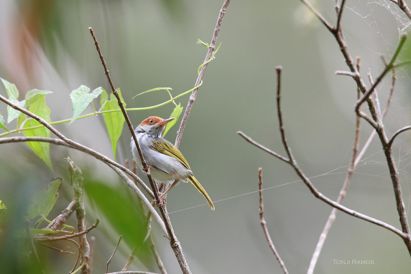 PHILIPPINE TAILORBIRD <i>Orthotomus castaneiceps</i> Twin Lakes, Negros Oriental, Philippines