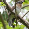 PHILIPPINE BULBUL <i>Hypsipetes philippinus</i> Forest Camp, Valencia, Negros Oriental